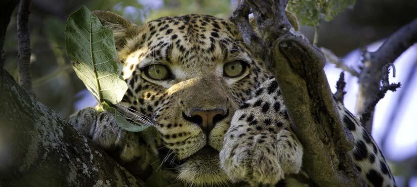 Leopard in Botswana Okavango Delta Vumbura Plains by Dana Allen