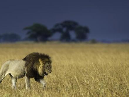 Lion: Zambia Busanga by Dana Allen