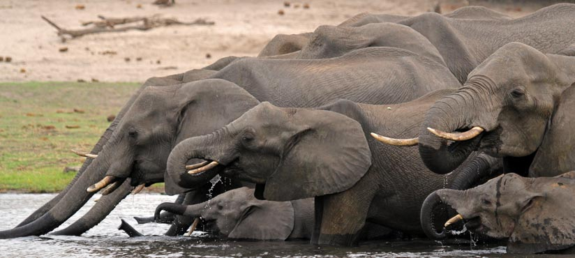 Elephants in Botswana Chobe by Dan Mackenzie