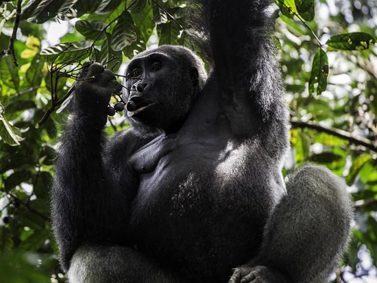 Gorilla Odzala Kokoua National Park Congo