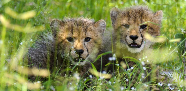 Leopard Cubs Botswana