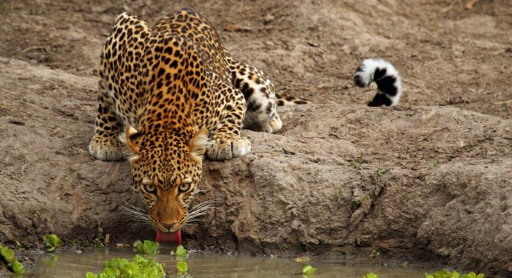 Leopard Drinking Zambia