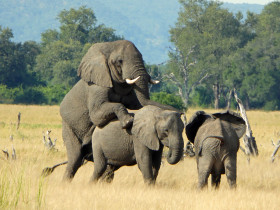 A rare sighting of mating elephants