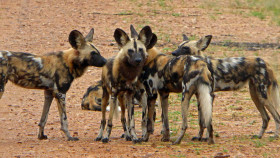 Endangered species - a pack of 15 wild dogs which we were fortunate to spend over an hour with!