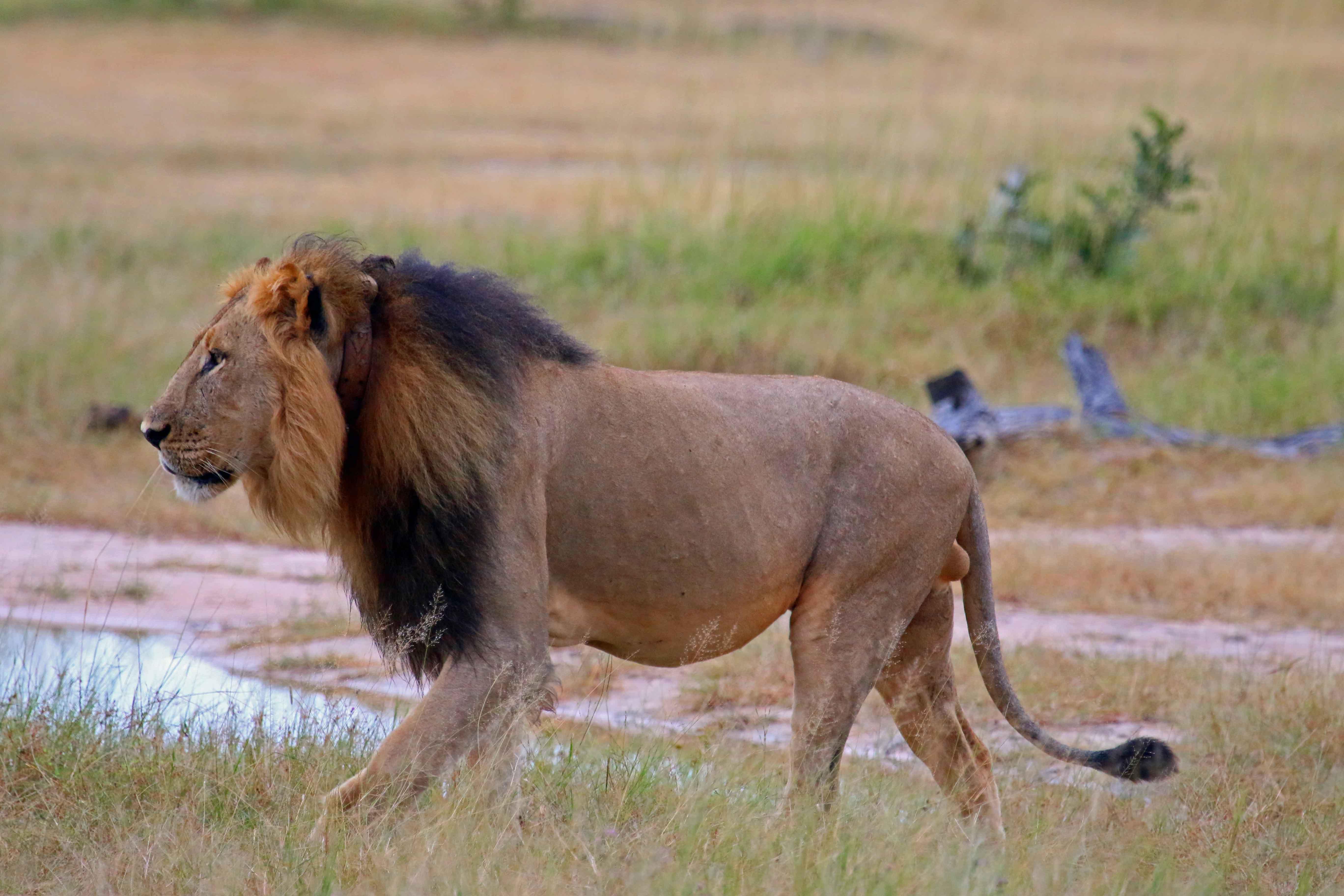 Cecil patrolling his territory, on safari in April 2014