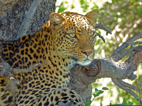 Midday siesta for a beautiful female leopard