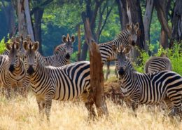 A Dazzle Of Zebra
