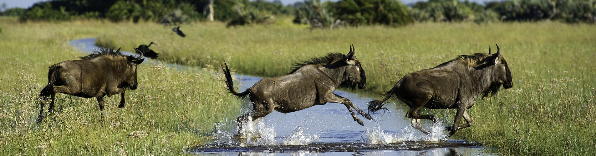 African Safari Adventures Wildebeeste