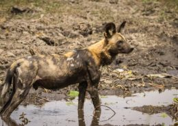 An African Wild Dog Cooling Off in a Mudpool