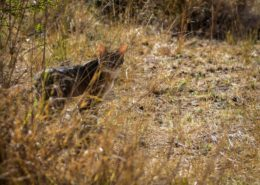 An Elusive African Wild Cat