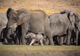Baby Elephant With Mother