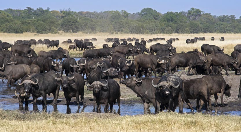 Buffalo in Hwange National Park