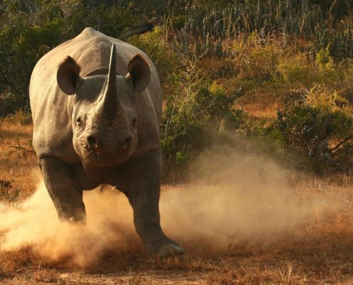 Black Rhino Charging South Africa