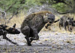 Botswana Hyena