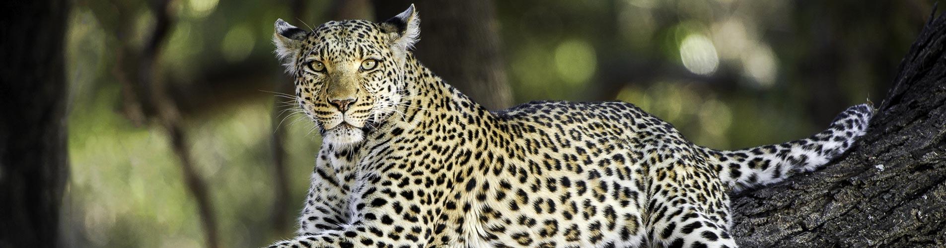 Botswana Safaris Mombo Leopard