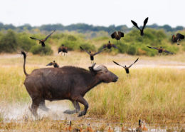 Buffalo Running in the Chobe
