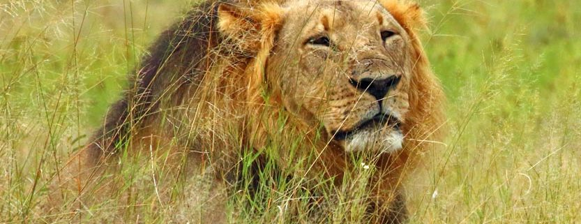 Cecil the Lion, Hwange National Park in Zimbabwe