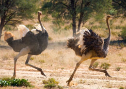 Dancing Ostriches in the Kgalagadi