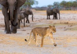 Elephant Drives off Lioness