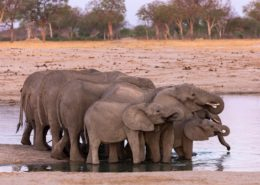 Elephants In Line