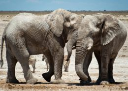 Etosha Elephants Namibia
