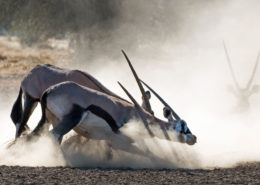 Fighting Bull Oryx