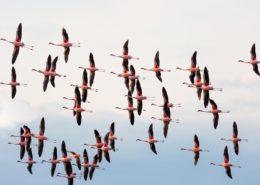 Flamingos Over the Zambezi