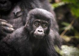 Uganda Gorilla Experience