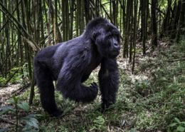 Gorilla Male in Rwanda