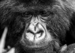 Rwanda Gorillas