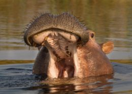 Hairy Hippo Lips