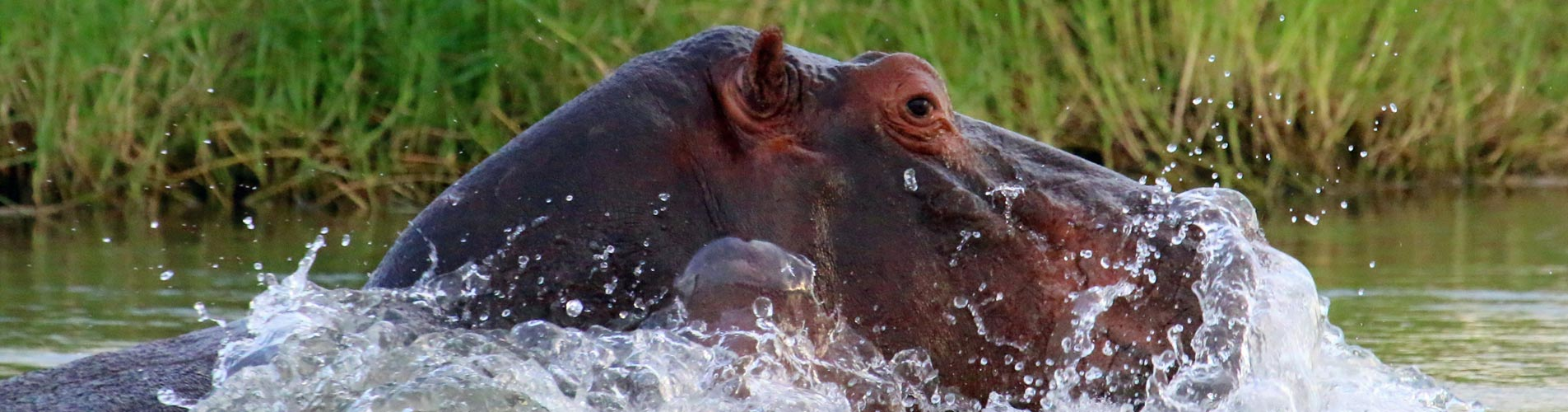 Hippo Blowing Bubbles in Zimbabwe