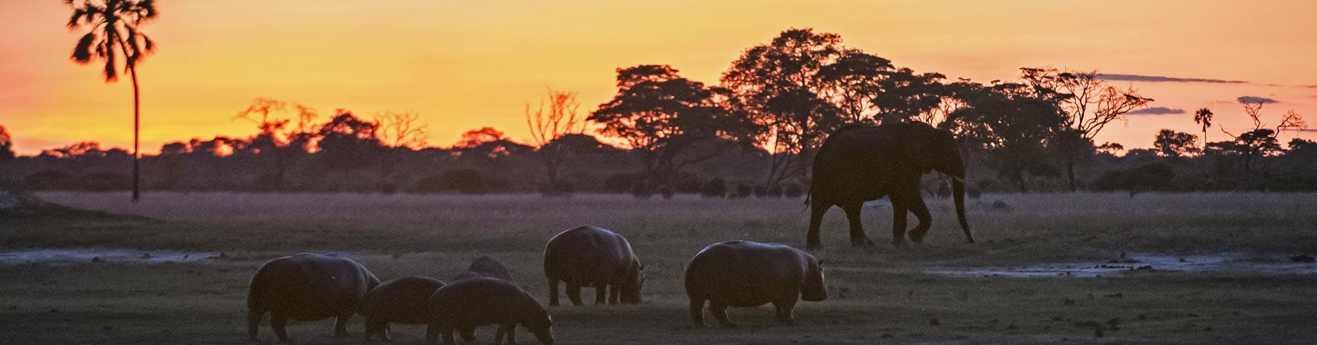 Hippos At Sunset on Zimbabwe Safari