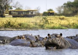 Hippos Shumba Zambia