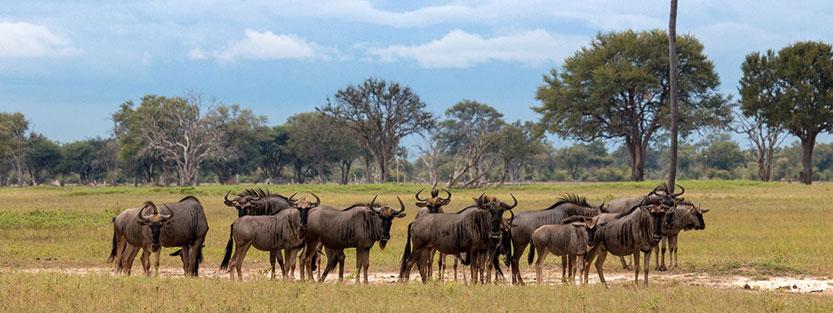 Hwange Wildebeest in Zimbabwe