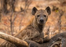 Hyena Relishing an Old Elephant Carcass