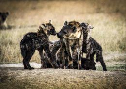 Hyenas At Segera, Kenya