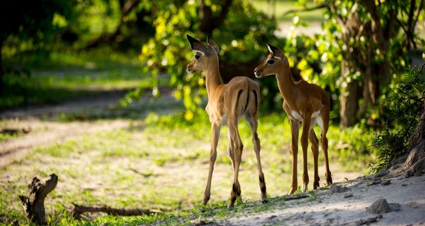 Impala Lambs on African Safari