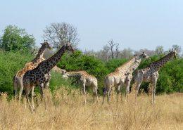 Journey of Giraffe