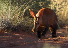 Kalahari Aardvark