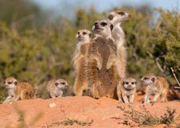 Kalahari Meerkat Family