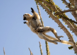 Leaping Verreaux's Sifaka