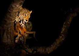 Leopard Kill by Dan MacKenzie