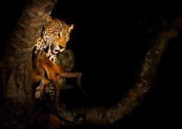 Leopard Kill by Dan MacKenzie