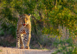 Leopard Sabi Sands Reserve