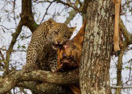 Leopards Kill