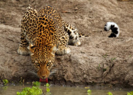 Leopards of the Luangwa
