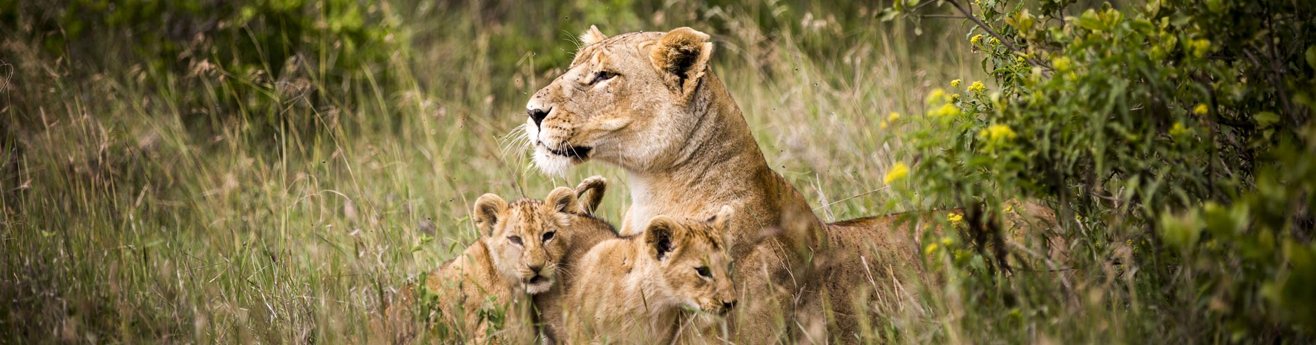 Lioness And Cubs At Segera in Kenya