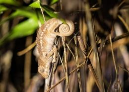 Madagascan Chameleon