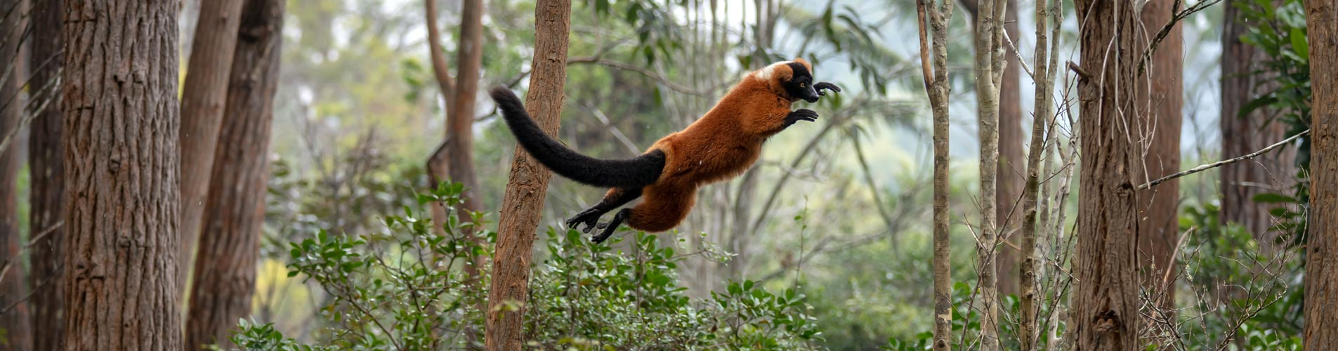 Madagascar Safari Red Ruffed Lemur